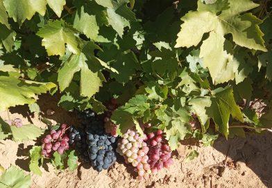 На базе сортоучастка прошел семинар по вопросам технологии выращивания винограда в  условиях Астраханской области